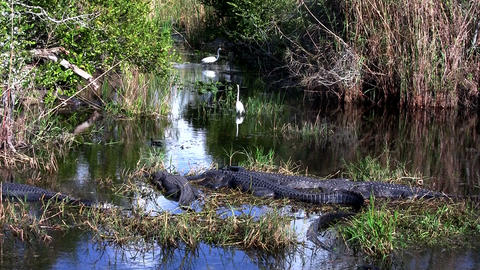 Wide shot of an alligator sleeping in a swamp in t Stock Video Footage
