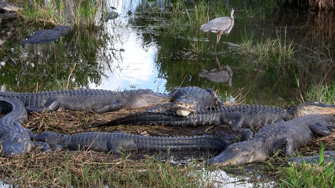 Wide shot of alligators sleeping in a swamp in the Stock Video Footage
