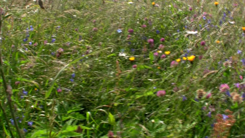 Fields of flowers are bluing in springtime Stock Video Footage