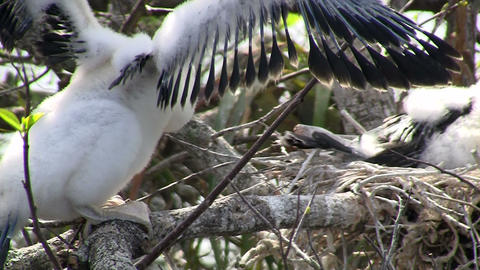 Beautiful white birds nesting in the Everglades Stock Video Footage