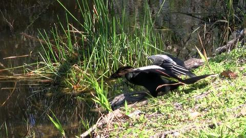 Beautiful black and white cormorant like birds on Stock Video Footage