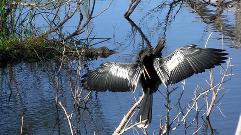 Beautiful black bird mating ritual in the Everglad Stock Video Footage