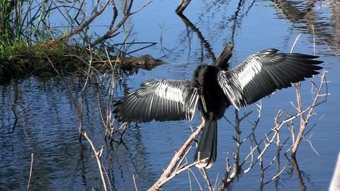 Beautiful black bird mating ritual in the Everglad Footage