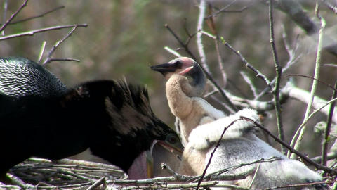 Beautiful black bird guards and feeds it chicks in Footage