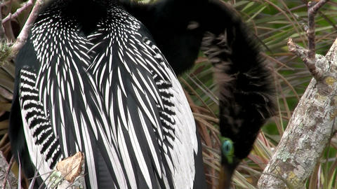 Black and white plumage of a bird in the Everglade Stock Video Footage