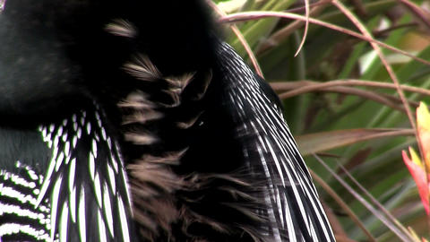 Black and white plumage Stock Video Footage