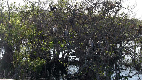 Birds sit in the mangrove forest in the Everglades Stock Video Footage