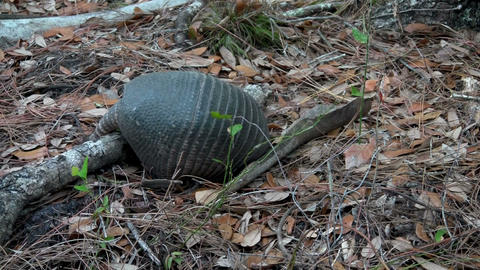 An armadillo digging and foraging Stock Video Footage