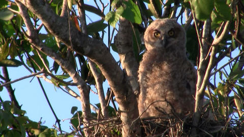 A great horned owl peers from the branches of a tr, Live Action