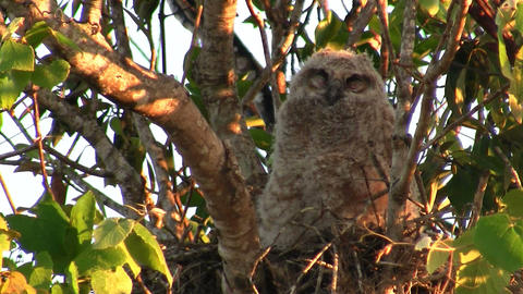 A great horned owl peers from the branches of a tr Stock Video Footage