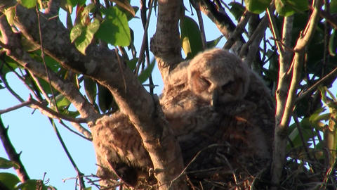 A great horned owl grooms itself in a tree Footage