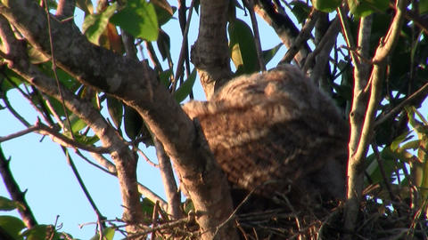 A great horned owl grooms itself in a tree, Live Action