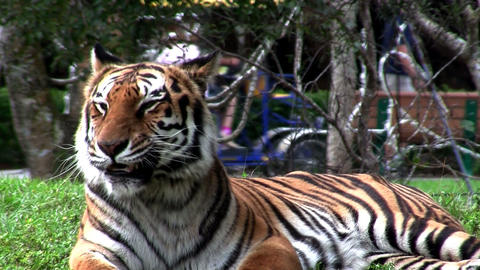 A large tiger sits on the grass in a zoo Stock Video Footage
