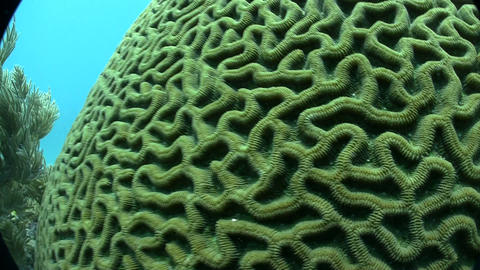 Underwater shot of beautiful green brain coral Stock Video Footage