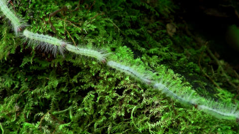 A long line of caterpillars make their way across Stock Video Footage