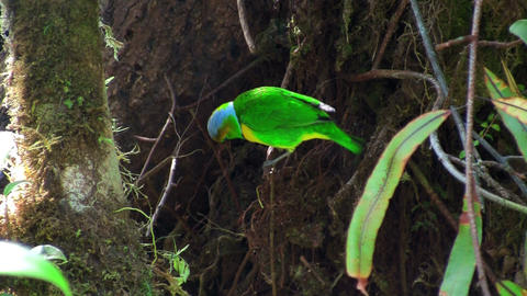 A vivid green bird sits on a branch plucking twigs Footage