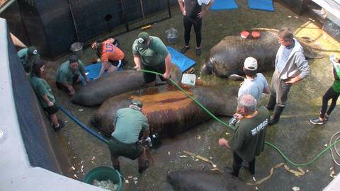 Researchers at a manatee research station in Flori Stock Video Footage