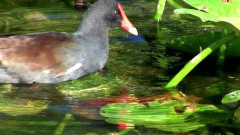 A common moorhen glides along a pond in the Evergl Stock Video Footage