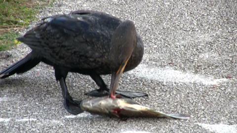 A shorebird devours a fish whole Stock Video Footage
