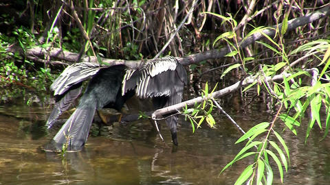A heron type bird spreads its wings in Everglades Footage