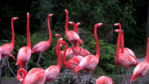 Flamingos flock together in the Everglades Footage