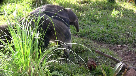 An anteater walks through the grass Stock Video Footage