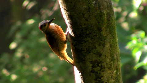 A beautiful woodpecker in the forest Stock Video Footage