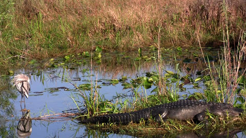 An alligator cohabitates a swamp with a bird Footage