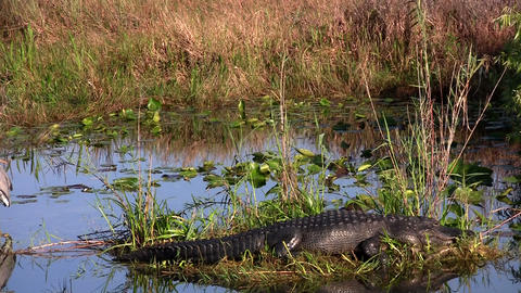 An alligator cohabitates a swamp with a bird Stock Video Footage