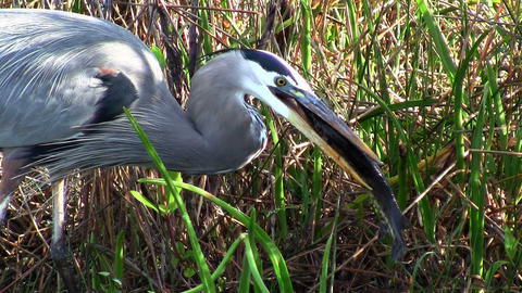 A bird catches and eats a fish in an Everglades sw Footage