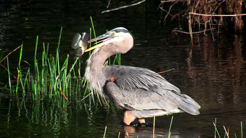 A bird in an Everglades swamp catches a fish Stock Video Footage