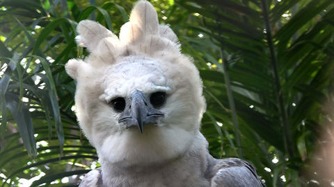 A harpy eagle, largest of world's eagles, peers ou Live Action