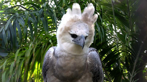 A harpy eagle, largest of world's eagles, peers ou Stock Video Footage