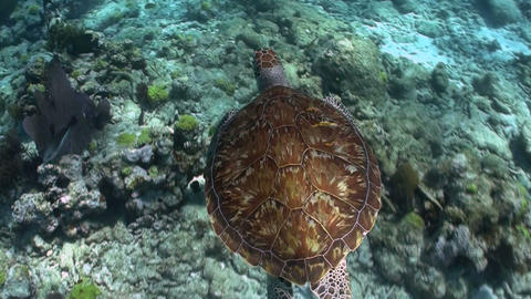 A turtle swims underwater Footage
