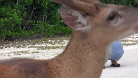 People feed deer along a road in Florida Stock Video Footage