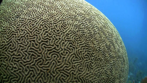 Beautiful brain coral underwater Stock Video Footage