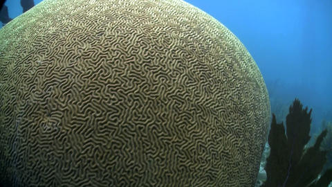 Beautiful brain coral underwater Footage