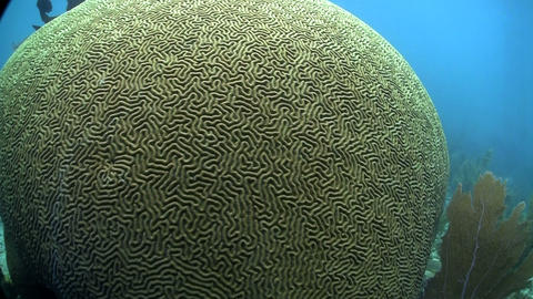 Beautiful brain coral underwater Stock Video Footage