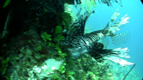 A deadly lionfish floats in a green underwater sea Stock Video Footage