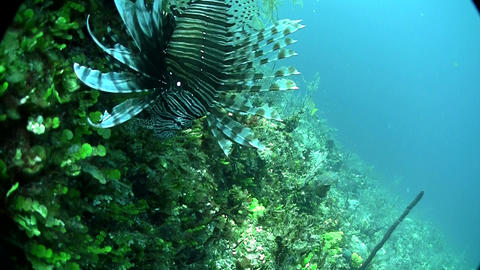 A deadly lionfish floats in a green underwater sea Footage