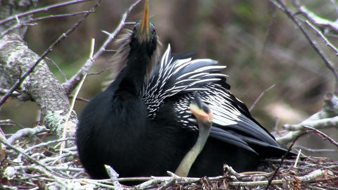 A male anhinga bird in it's nest in Florida Stock Video Footage