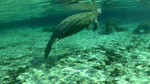 Good footage of a manatee swimming underwater Stock Video Footage