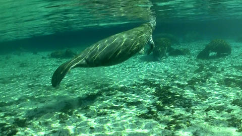 Good footage of a manatee swimming underwater Footage