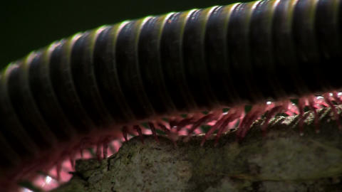 An extreme close up of a millipede moving along a Stock Video Footage
