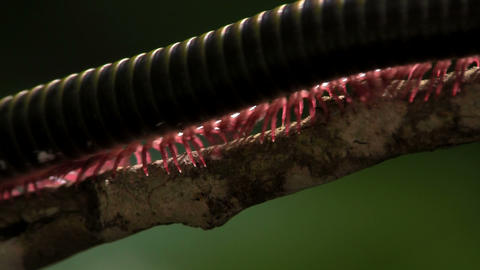 An extreme close up of a millipede moving along a  Footage