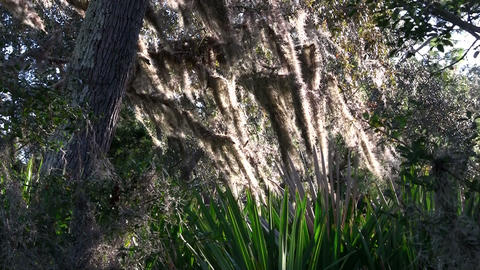 Spanish moss hangs from trees in the Southern USA Stock Video Footage