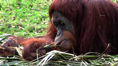An orangutan lounges on the forest floor Stock Video Footage