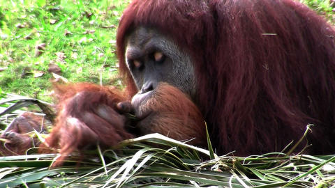 An orangutan lounges on the forest floor Footage