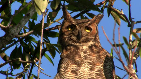 A great horned owl peers down from a tree in the f Footage