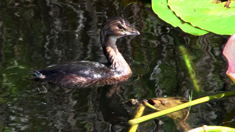 A pie billed grebe floats on a lake Footage